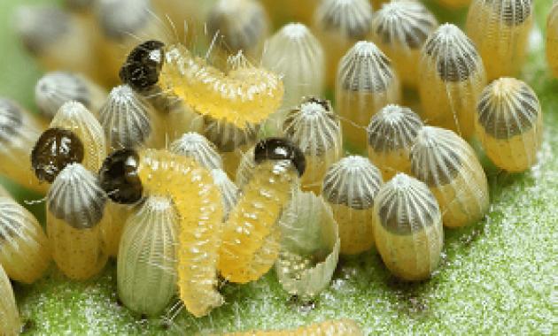 Larva Dalam Siklus Hidup Kupu-Kupu