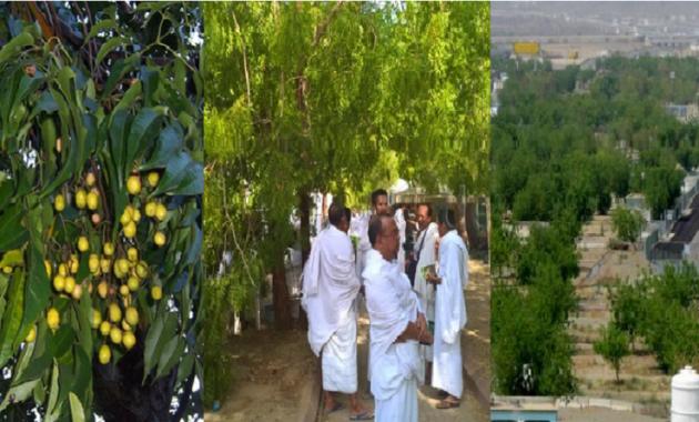 Pohon Soekarno di Padang Arafah