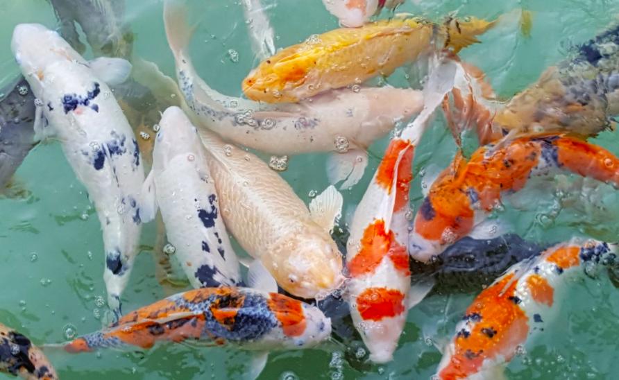 Koi Ikan Air Tawar