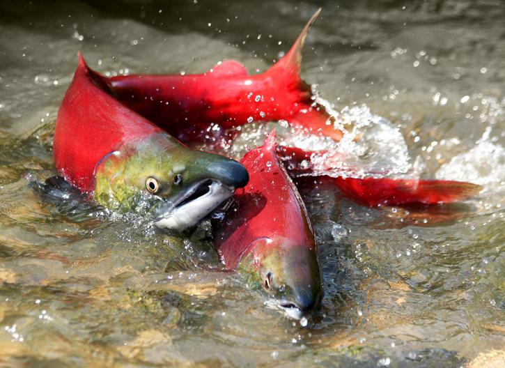 Salmon Ikan Air Laut & Air tawar