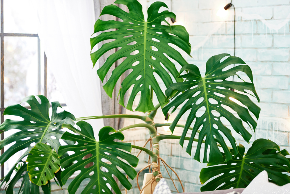 Monstera - Philodendron