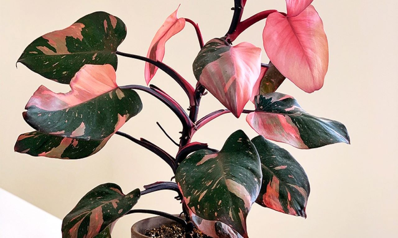 Philodendron Cover