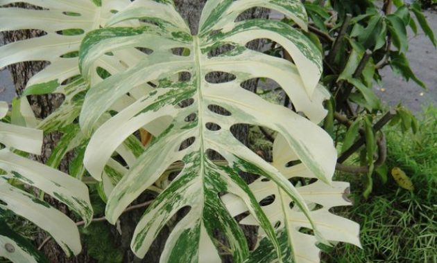 Jenis Philodendron Termahal