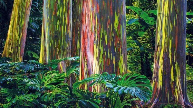 Eucalyptus degulpta Pada Rawa